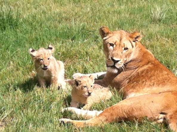 Løvepark i Sydafrika
